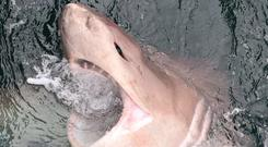 The sixgill shark caught off the coast of Clare last week. The animal was released unharmed