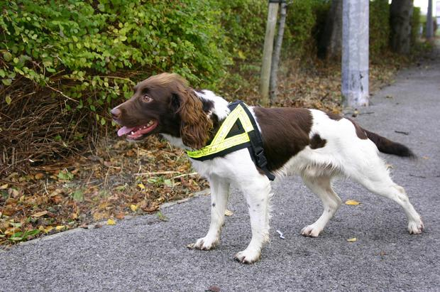 Detector dog Alfie who assisted with the seizure in Rosslare