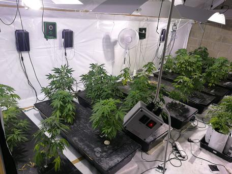 Officers seized in excess of 100 cannabis plants during an operation in Co Offaly (Image: Garda Twitter)