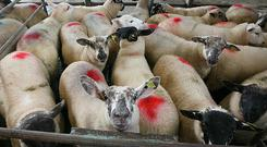 8/6/2017. Ballymote Sheep Mart Lot 15 Weight 43K Quantity 25 sheep Price €117 Photo Brian Farrell