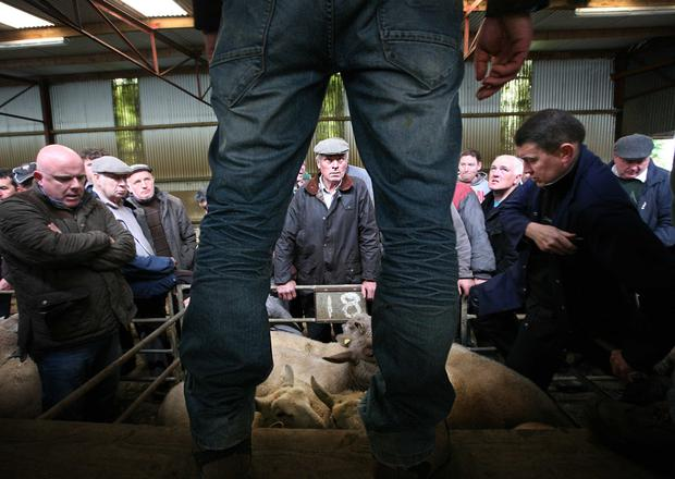 8/6/2017. Ballymote Sheep Mart Keeping an eye on the auctioneer Photo Brian Farrell