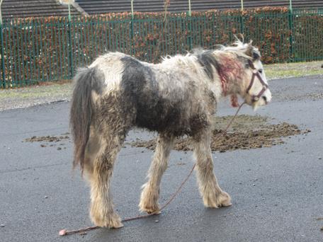 Chance was discovered by the ISPCA with wounds to his neck (Image: ISPCA)
