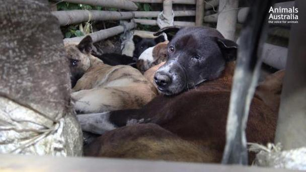Bound dogs await slaughter (Animals Australia)