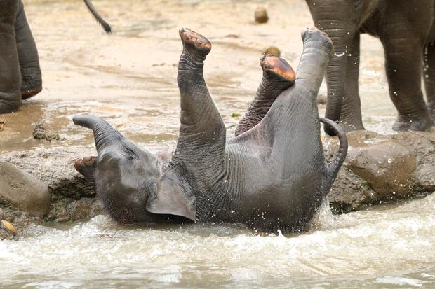 Baby elephant Vani cooling down at Dublin Zoo. Photo: Justin Farrelly