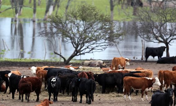 Cows graze in a flooded farm near Victoria, Argentina, June 16, 2017. Picture taken June 16, 2017. REUTERS/Marcos Brindicci