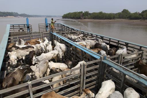 A man cools cattle on a beached boat in the Amazon river, in the city of Manaus, Brazil, October 26, 2015. REUTERS/Bruno Kelly