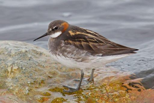BRAVE: The red-necked phalarope (P lobatus). Photo: Andreas Treple