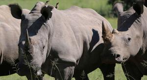 "The online sale of horn belonging to breeder John Hume will take place from August 21 to 24 and revenue will be used to ""further fund the breeding and protection of rhinos"", according to an auction website. Photo: AP Photo"