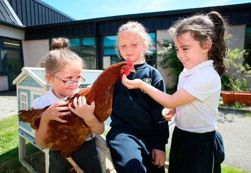 Eggs-citing: Maci Kelly (5), with Sophie McGuirk (8) and Lauren Mulvey (8) on 'hen duty' with Elsa the hen at Knockmore Junior School Killinarden, Tallaght. Photo: Frank McGrath