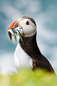 Colourful: Puffins can carry up to a dozen fish at a time. Photo: Michael Kelly