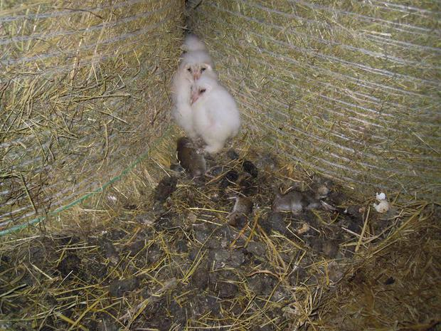 The three owl chicks with rodents, past and present. Picture: Donal Sheehan