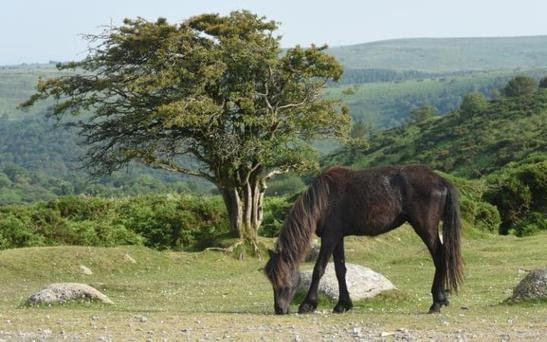 The Dartmoor Hill ponies have been on the moorlands for 3,500 years but their numbers have slumped Credit: Jay Williams for The Telegraph
