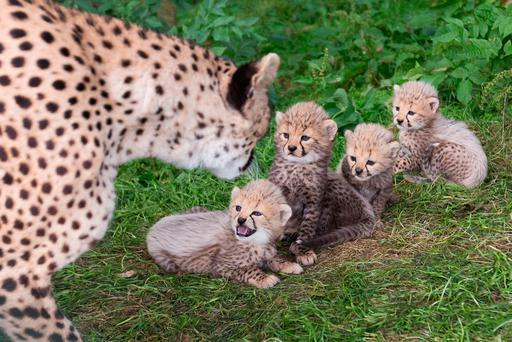 The latest arrivals at Fota Wildlife Park in Co Cork, four new Cheetah cubs, were officially introduced to the public today. Picture Darragh Kane