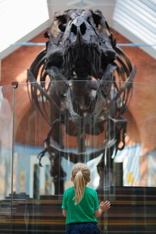 Beth Healy (4) looks at Stan the T-Rex at Dublin Zoo's Zoorassic World. Photo: Patrick Bolger