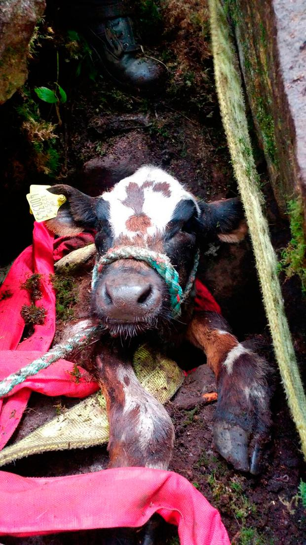 Young Belgian Blue cow named Daisy Credit: West Yorkshire Fire and Rescue Service/PA Wire