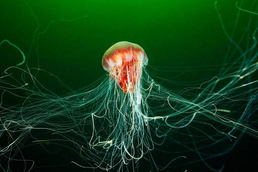 Lion's Mane jellyfish have been spotted in the waters around Sandycove and other areas along the coast in south Dublin.