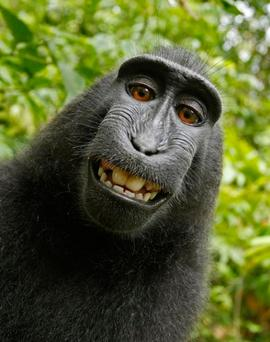 The famous selfie of grinning macaque