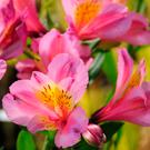 Borderline hardy: The Peruvian Lily or alstroemeria