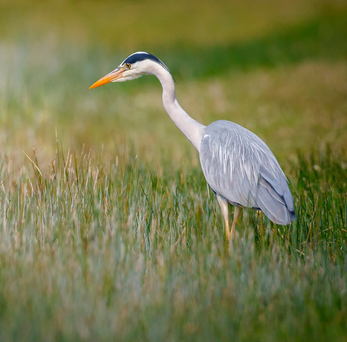 Harmless-looking: Hungry herons have no scruples as trenchermen