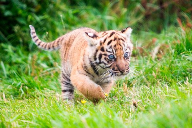Fota Wildlife Park yesterday announced that its new Sumatran tiger cub has been named Dharma. Photo: Darragh Kane