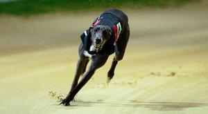 The favourite for the six-bend event at Shelbourne is Airmount Tess but she will have to overcome a tricky draw in the second heat. Photo: Stock Image