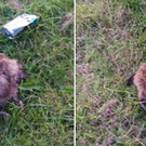 The hedgehogs were kicked to death in a Dublin park. Photo: Hedgehog Rescue Dublin