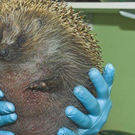 Kind vets worked quickly to get the little hedgehog back to good health. Credit: Scottish SPCA / Facebook