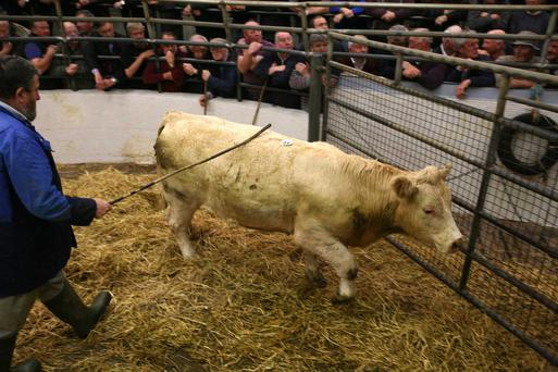 3/8/2017 Castlerea Mart Lo number 44E Weight 455K DOB 22/5/15 Breed CHX Sex Bullock Price €1120 Photo Brian Farrell