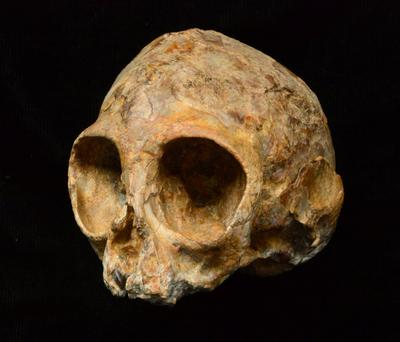 The skull of the newly discovered extinct ape species called Nyanzapithecus alesi is pictured in this handout photo obtained by Reuters August 8, 2017. The lemon-sized fossil skull of an infant ape nicknamed Alesi that inhabited a Kenyan forest about 13 million years ago is offering a peek at what the long-ago common ancestor of people and all modern apes may have looked like. Photo: Fred Spoor/Stony Brook University/Handout via REUTERS