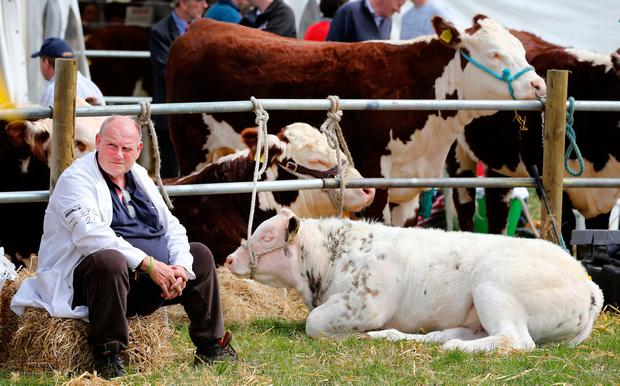 Anthony McLoughlin from Balbriggan, Co Dublin, waits to go into the parade ring with his heifer. Photo: Gerry Mooney