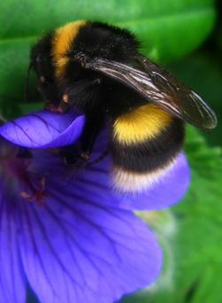 A bumblebee on a flower in Rosedale, north Yorkshire. Clara Molden/PA Wire
