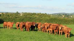 Stabiliser heifers on the Hayden farm