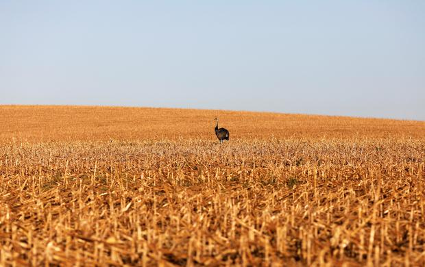 An ostrich stands in a field of second corn (winter corn) after near Lucas do Rio Verde in the Mato Grosso state, Brazil, July 27, 2017. Picture taken July 27, 2017. REUTERS/Nacho Doce TPX IMAGES OF THE DAY