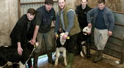 Pobalscoil Chorca Dhuibhne students (from left) Gavin MacCarthy, Maurice Kelliher, Louis Murchan, Sean Brosnan and Dara May with their calves in Dingle Mart on Saturday. Photo by Declan Malone