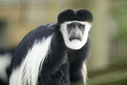Escaped monkey returns to Fota Wildlife's vehicle park