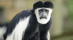 Stock photo of a Colobus monkey