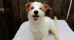 One of the dogs that were bred in a single property and which urgently need homes after they were turned over to the ISPCA