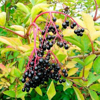 Bounty: Elderberries can be used for tasty treats like crumbles, pies and jams