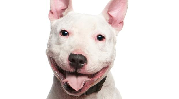 A Staffordshire Bull is suspected to have eaten crack cocaine and killed its owner. Stock photo