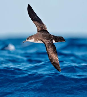 MIGRANT: Manx shearwaters