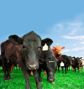 Mr McGuire thinks that beef in Ireland is going the wrong way and that factories are taking lower-graded