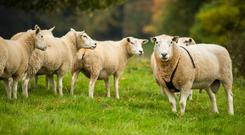 Ewes and lambs are increasing in body condition score at the moment. Photo: Getty Images