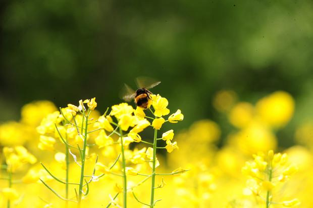 Bees rely entirely on nectar and pollen for food, which makes them our most important insect pollinators