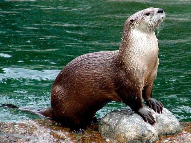 BRIGHT WATER: Otter