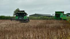 Drivers Cody Nolan and Pat O Toole were busy harvesting 72 acres of Fanfare Beans for farmer Henry Nolan near Fenagh Co Carlow. It yielded 3.3t/ac. Photo: Roger Jones