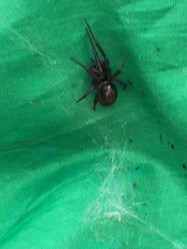 False Widow spider is taking over Ireland and is a potential