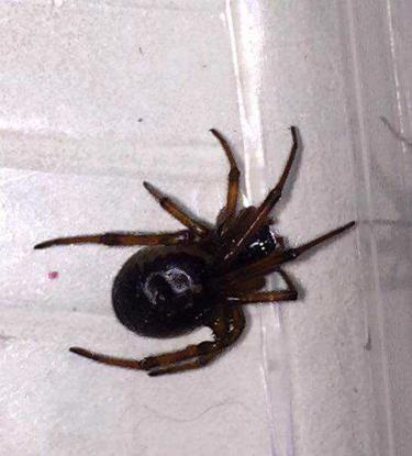 False Widow spider is taking over Ireland and is a potential health