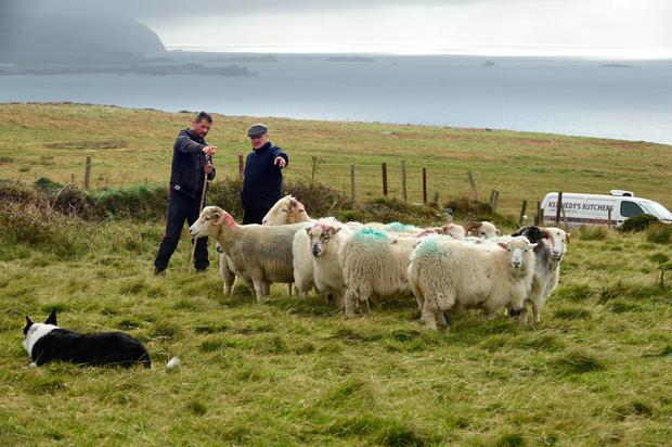 Flock stars: Blasket Island Sheep Farmer Donnacha O Ceileachair with Dingle Butcher Jerry Kennedy and the Autumn Lambs upon coming ashore on Dunquin. Photo: Don MacMonagle