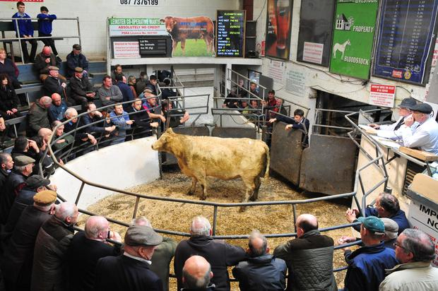 Lot No 700. DOB 25/04/15.Breed CHX.Weight 740 kg. Price €1340. Photo Roger Jones.