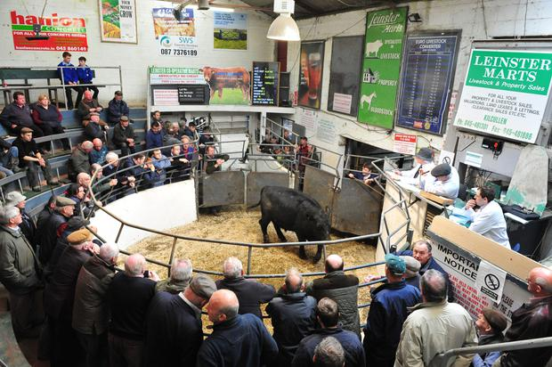 Lot No 1. DOB 1/02/15.Breed AAX.Weight 610 kg. Price €1130. Photo Roger Jones.